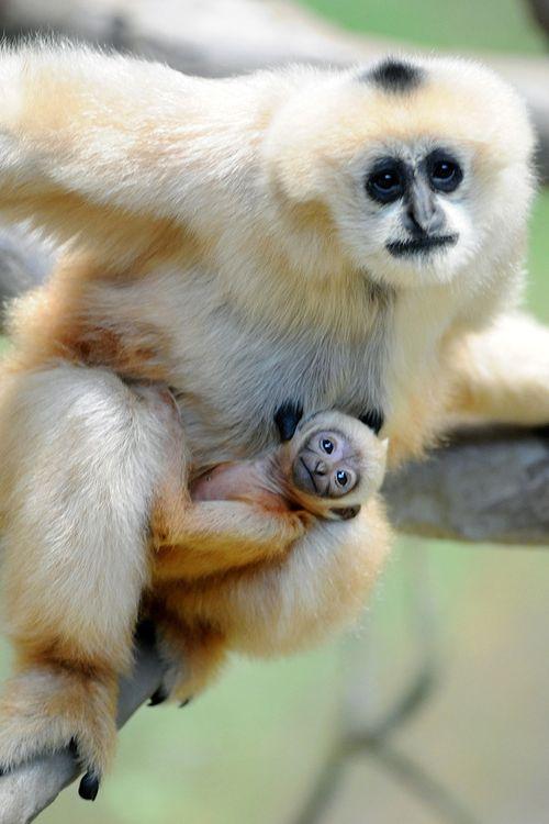 Brookfield-Zoo---White-Cheeked-Gibbon