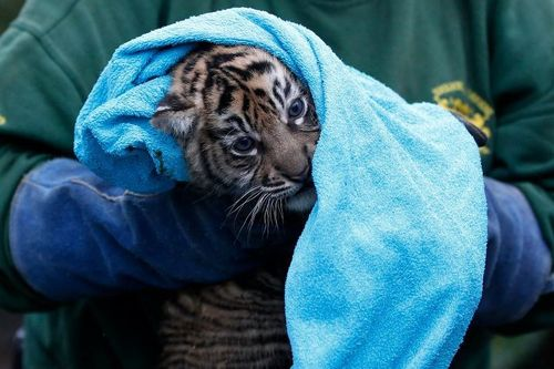 Chester Zoo Tiger Cub Check Up 2