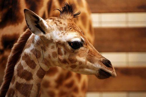 Liberec Giraffe Rothschild 3