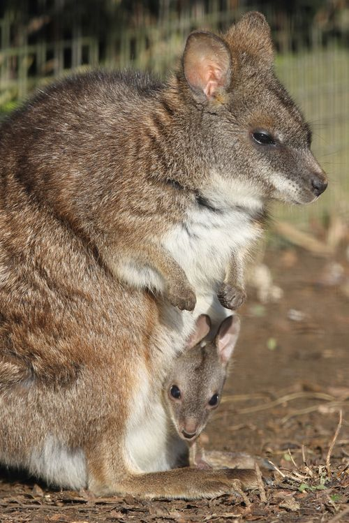 Parma-Wallaby-joey-by-Colin-Edwards-(3)