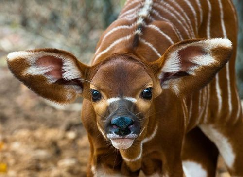 Brody the Baby Bongo, Born at the Houston Zoo - ZooBorns