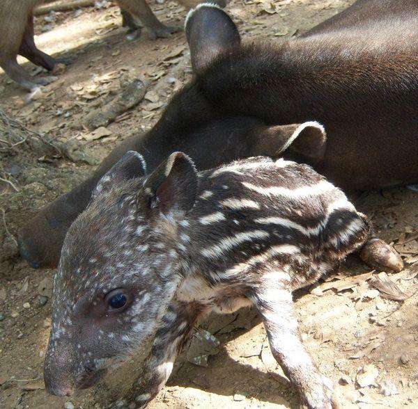 Look At Those Baby Tapir Spots!