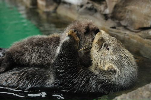 Seattle Sea Otter Pup