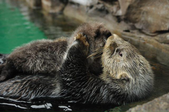 Seattle Sea Otter Pup