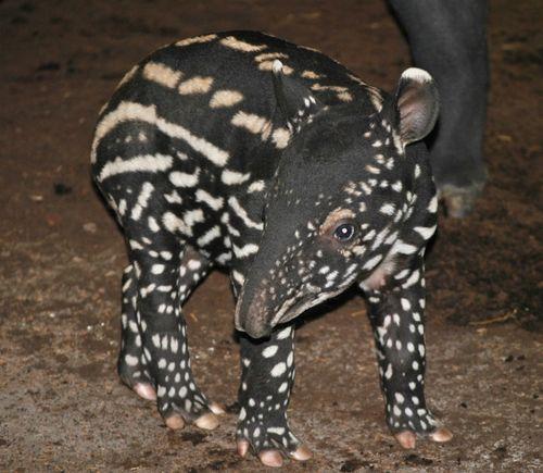 Tapir 2(c)