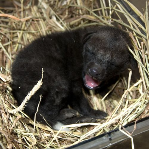 National-Zoo-Maned-Wolf-Pups3