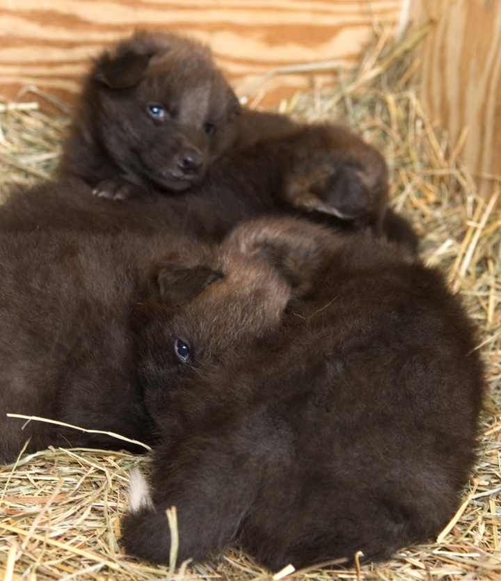 National-Zoo-Maned-Wolf-Pups2