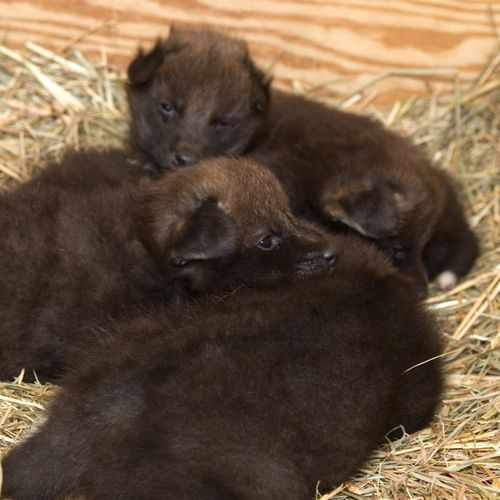 National-ZOo-Maned-Wolf-Pups