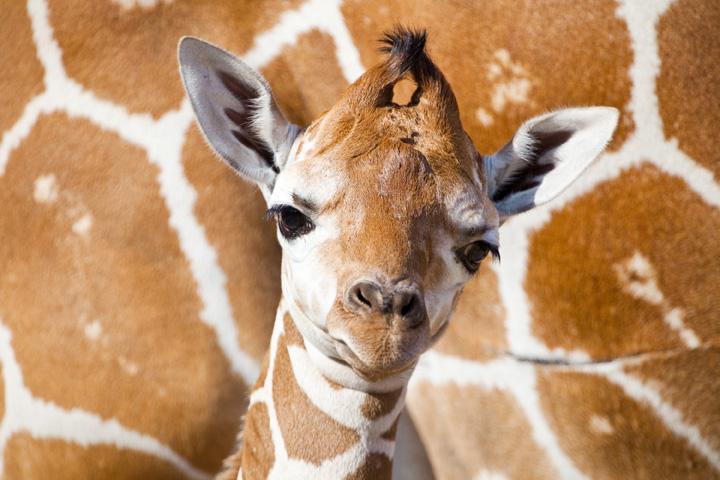 BG-Baby-Giraffe-3