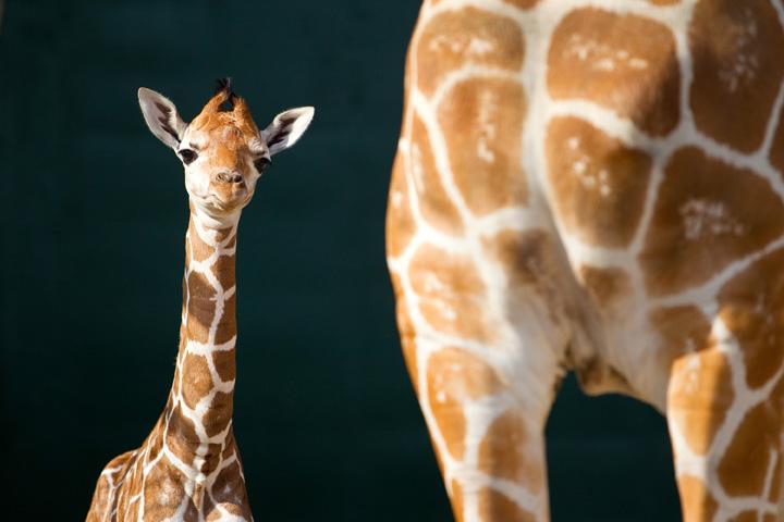 BG-Baby-Giraffe-4