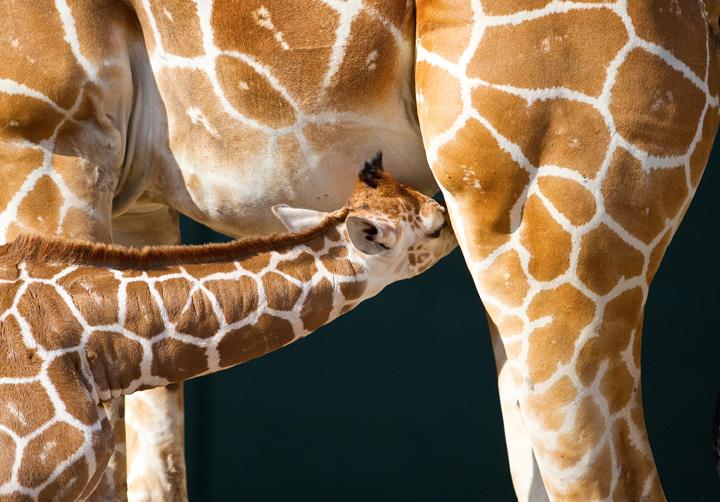 BG-Baby-Giraffe-5