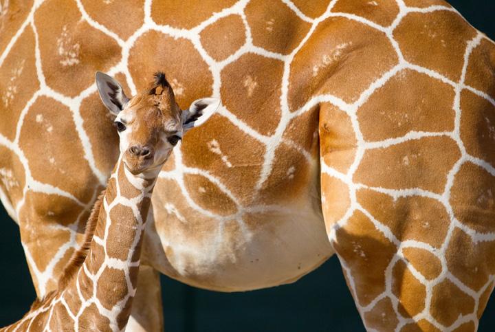 BG-Baby-Giraffe-7