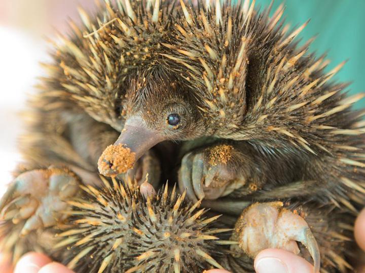 Perth-Zoo-Puggle1