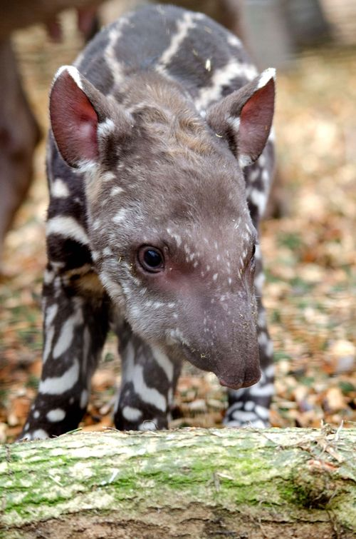 2012-02-PZ-tapir-baby-at-2hrs-old
