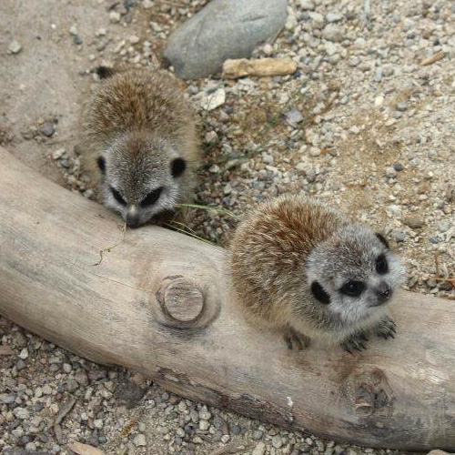 Wellington-Zoo-Meerkat-Pups2