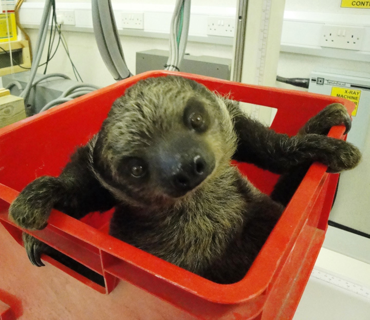 Sid-the-baby-sloth-being-weighed-Jan-2012