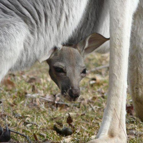 Franklin-Park-Zoo-Kangaroo-Joey