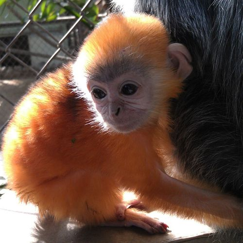 Seeing Double? Second Little Ginger-haired Langur Baby ...
