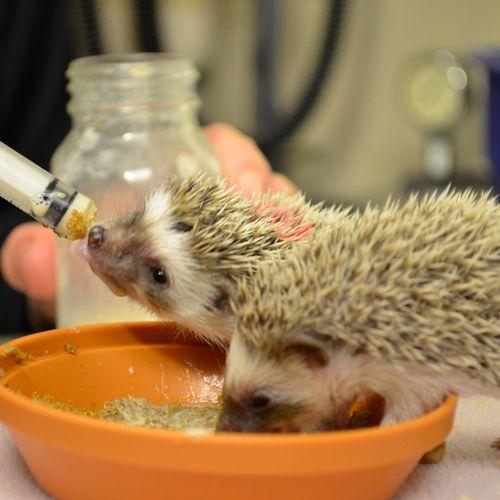 CIncinnati-Hedgehogs