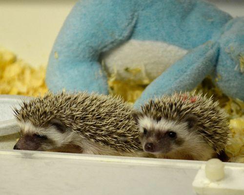 CIncinnati-Hedgehogs2