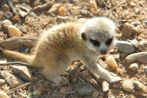 Meerkats_Taronga_3