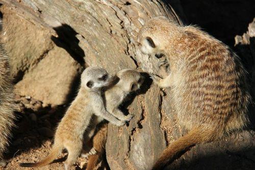 Meerkats_Taronga_4