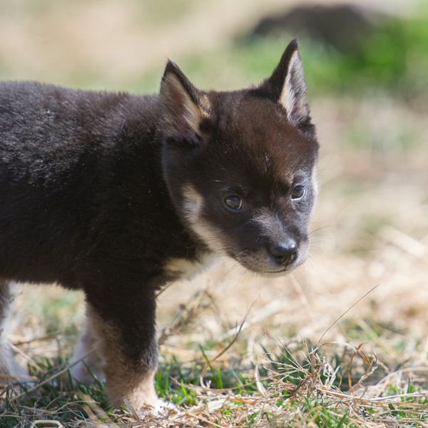 fort wayne children s zoo s dingoes are growing up fast zooborns