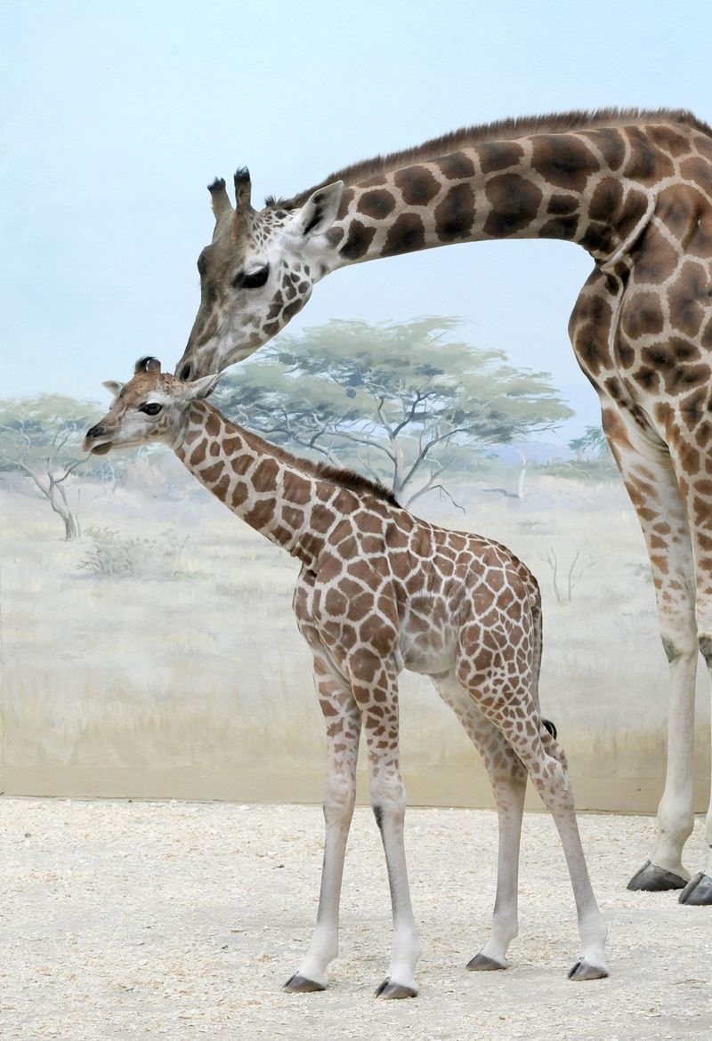 _Julie Larsen Maher 1754- Reticulated Giraffe and Calf CGB BZ 03 20 12