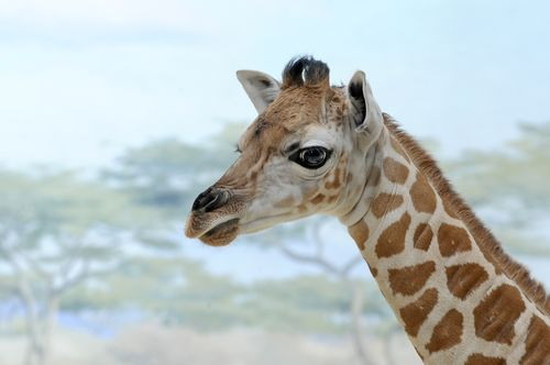 _Julie Larsen Maher 1790 Reticulated Giraffe and Calf CGB BZ 03 20 12