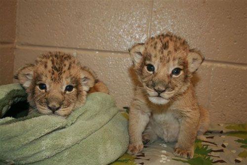 Mtai_serafina_african_lion_cubs2