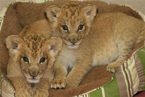 Mtai_serafina_african_lion_cubs4