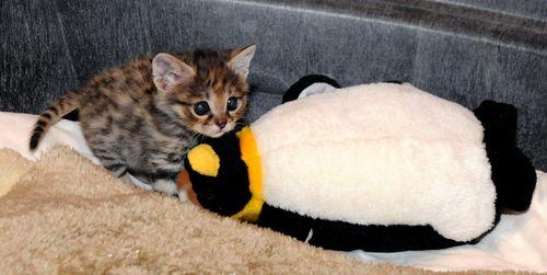 Black-footed-cat-kitten-6
