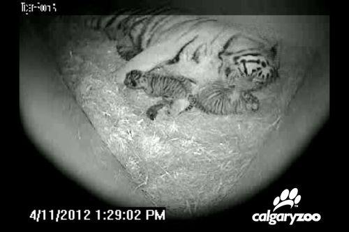Tiger02-update