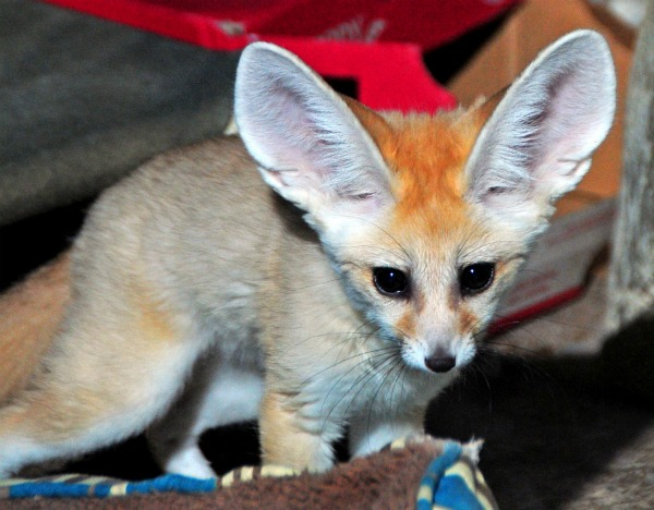 Fennec_fox_kits_4-12-12 (24)