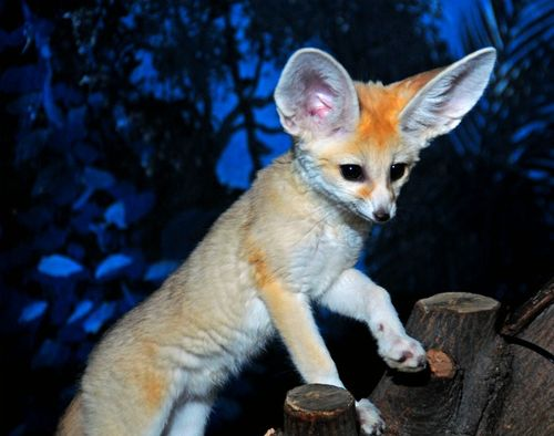 Fennec_fox_kits_4-12-12 (22)