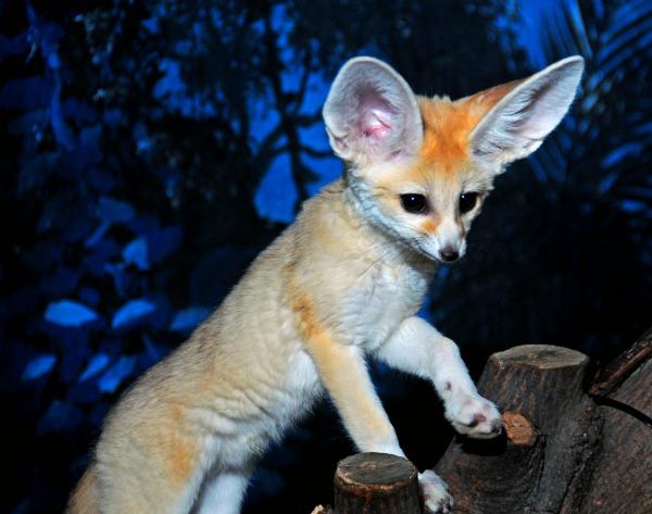 Fennec_fox_kits_4-12-12 (22)