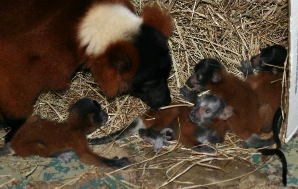 Lemur babies 2012 009