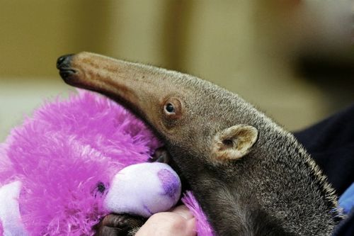 Baby Giant Anteater Face Roger Williams Park Zoo 3