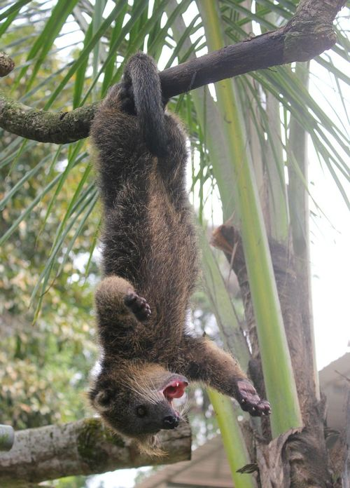 Bearcat Cub Hanging from a Tree