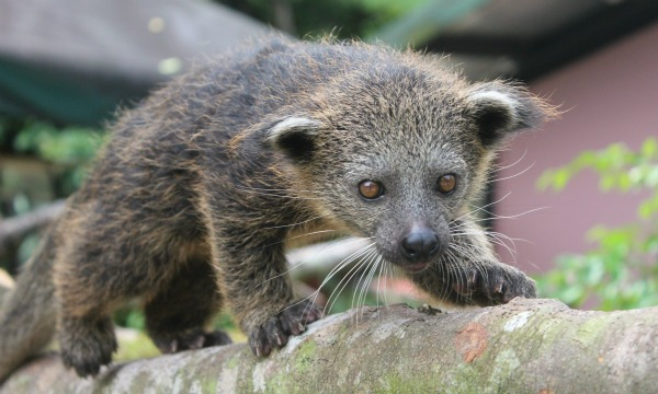 Baby Bearcat Cub at Singapore Zoo
