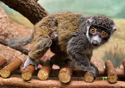 BG-Mongoose-Lemur-3
