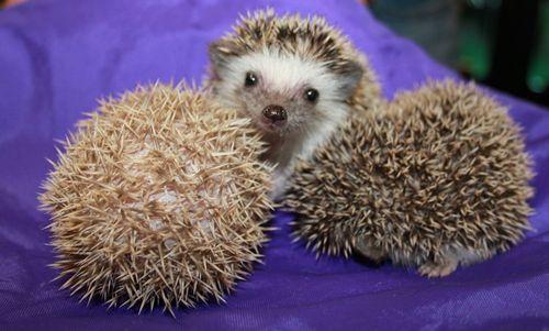 Happy_Hollow_Hedgehogs3