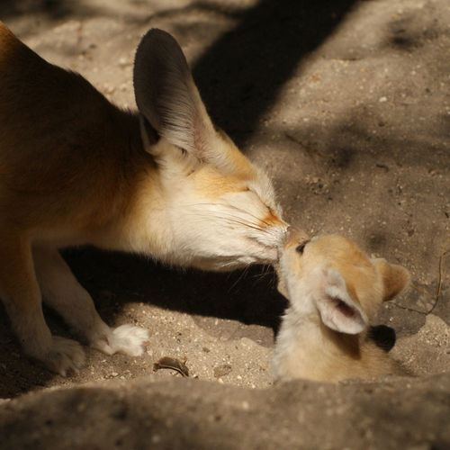 Palm_Beach_Zoo_Fennec-Fox-1