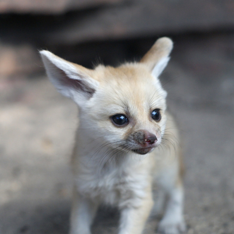 Palm_Beach_Zoo_Fennec-Fox-3