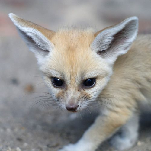 Palm_Beach_Zoo_Fennec-Fox-6