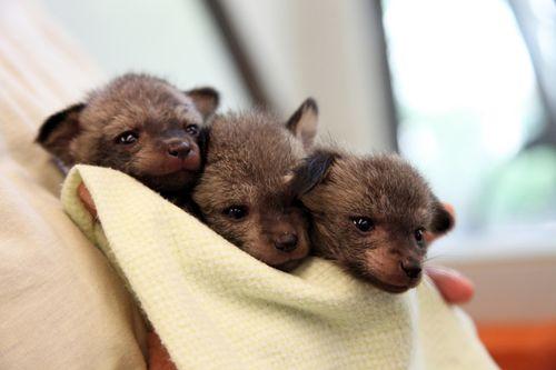 Cincinnati_Zoo_Bat-Eared_Fox_1
