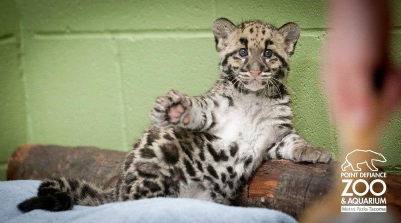 Point Defiance Zoo Clouded Leopard Cubs 2