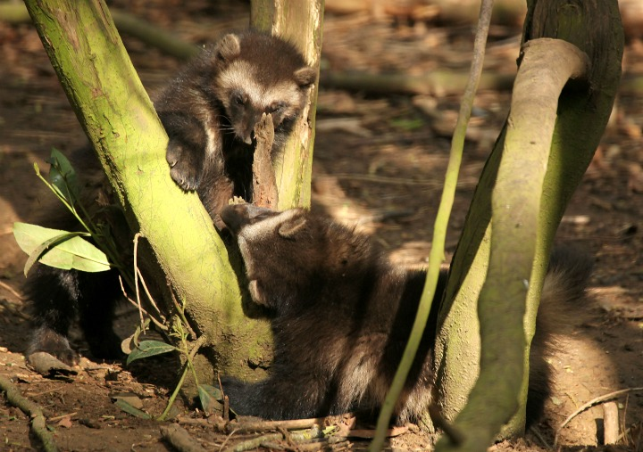 Wrestling Wolverine Cubs at Cotswold Wildlife Park