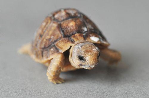 SN_Tortoise_solent_10