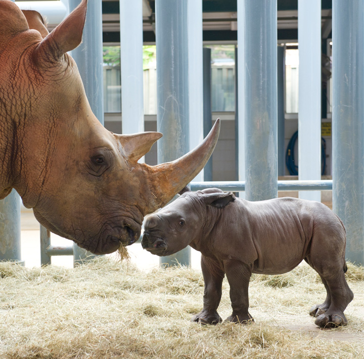 Rhino-baby-with-mother-51